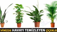 BU BİTKİLER KARBONDİOKSİDİ HÜP DİYE İÇİNE ÇEKİYOR.. -Evdeki Havayı Temizleyen Bitkiler