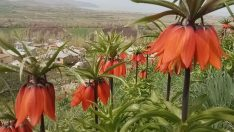 """Hüznün çiçeği"""" diyorlar! Ömürleri sadece 15 gün! Şırnak, Hakkari ve Van bölgesinde yetişiyor!"""