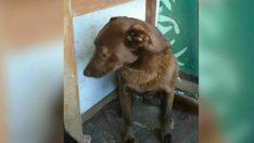 Depresyondaki Köpek 2 Yıl Boyunca Sahiplendirilmeyi Bekledi – Bir Gün Tanıdık Bir Koku Aldı