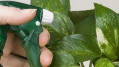 Solan Bitkilerinizi Başka Bir Bitki İyileştiriyor 5 Tüyo
