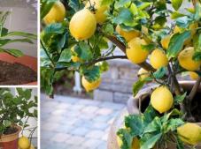 4 Adımda Evde Limon Ağacı Nasıl Yetiştirilir Öğrenebileceksiniz!