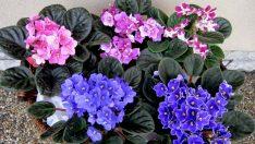 Evde Yetiştirilecek Çiçekler  Afrika Menekşesi