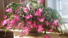 Evde Yılbaşı Çiçeği, Yılbaşı Kaktüsü Nasıl Yetiştirilir Püf Noktaları
