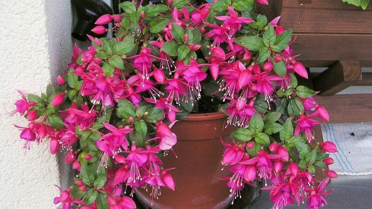 Küpe Çiçeğini Tohumdan Ve Çeliklerinden Çoğaltabilirsiniz