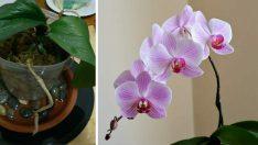 Orkideniz Çiçek Açmıyor ve Soluyor mu? – Bu Yöntemi Deneyerek İki Haftada Orkidenizin Çiçek Açmasını Sağlayın