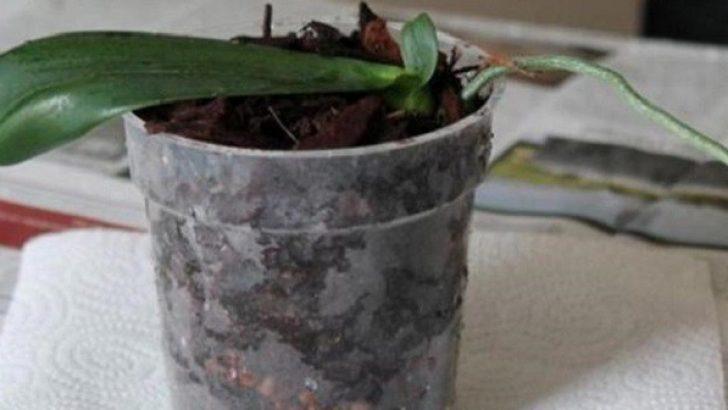 Bir Orkideyi Tekrar Canlandırmanın Yolları