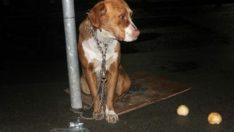 Tabela Direğine Bağlı Halde Bulunan Boynu Bükük Köpeğin Ü-zgün Bakışları Görenlerin Yüreğini Burktu